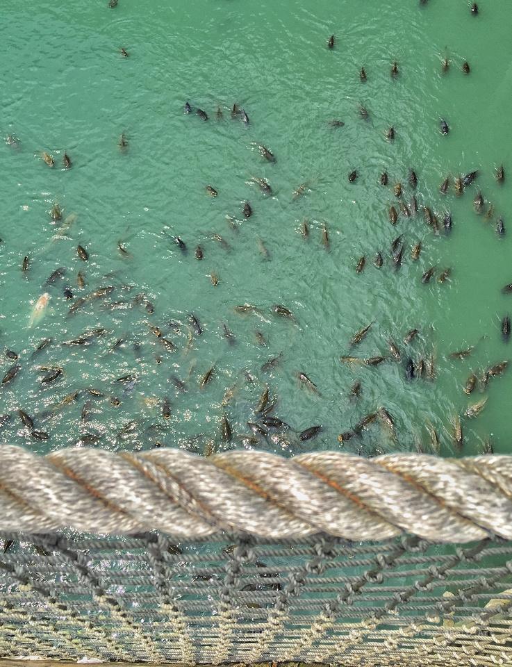 Feeding Frenzy at Myrtle Beach
