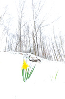 Winter Daffodil